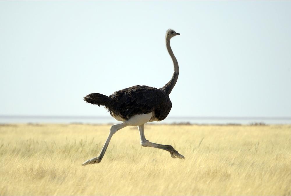 ostrich-3a-3105-xl.jpg